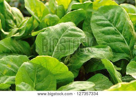 closeup of green sliverbeet grow in vegetable garden