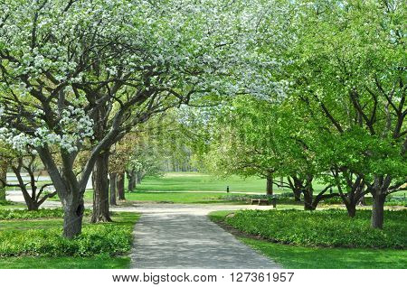 Row of Apple trees in bloom , early Spting along a lane through Cantigny Park outside Wheaton Illinois