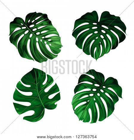 set of leaves monstera