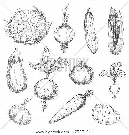 Farm fresh sweet corn, carrot and beetroot, ripe tomato and cauliflower, spicy onion, garlic and radish, tasty potato and eggplant, succulent cucumber vegetables sketches. Engraving stylized veggies for recipe book, vegetarian menu, agriculture harvest de