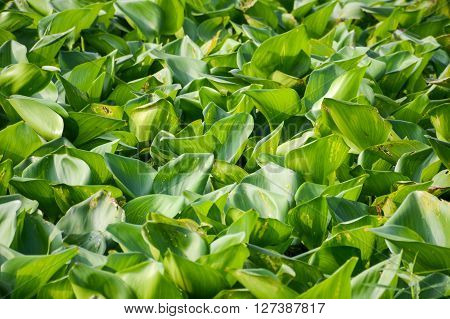 green water hyacinth tree in river , Eichhornia crassipes ** Note: Soft Focus at 100%, best at smaller sizes