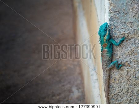Green head lizard hung on corner of ruins wall with copy space Darkness and light tone
