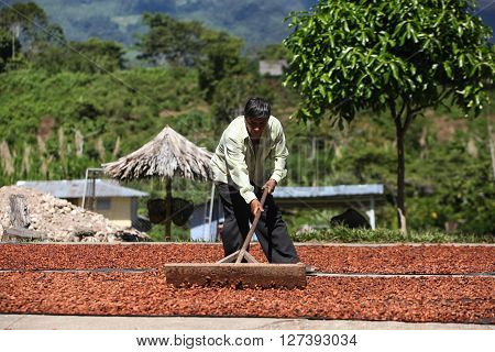 HUAYHUANTILLO PERU - JUNE 21: A view of a man who adjusts collection point of coffee beans and cocoa beans in Huayhuantillo village near Tingo Maria in Peru 2011.