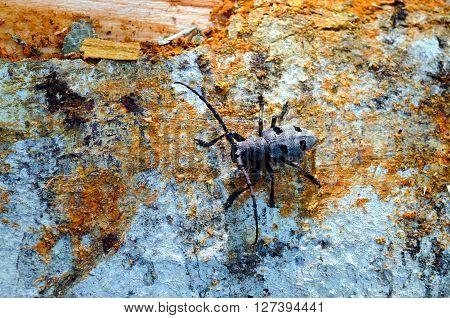 Long-horned beetle (Morinus funereus asper) shoot on a beech trunk.