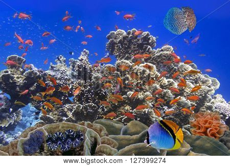School Of Coral Goldfishes. Red Sea, Egypt