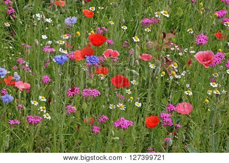 view on colorful meadow flowers at summer
