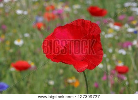 close up of red poppy in garden