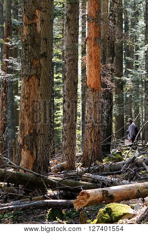 A person is doing research in beech-fir forest.