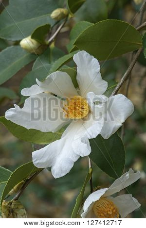 Tea oil camellia (Camellia oleifera). Called Oil-seed camellia also ** Note: Soft Focus at 100%, best at smaller sizes