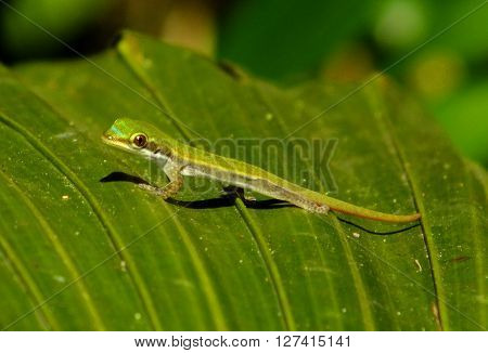Baby day gecko resting on a palm tree leaf