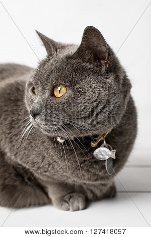 Grey cat chartreux on a white background