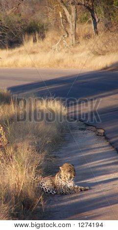 Leopard On Side Of Road