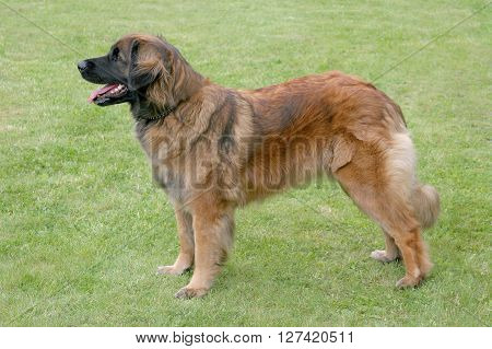 The typical Leonberger in the spring garden