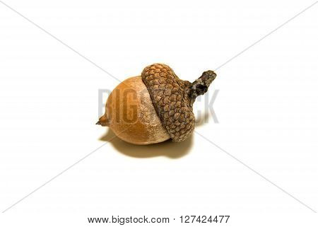 One brown acorn with cap on over white
