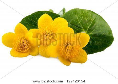 Caltha flowers (Caltha palustris) on white background