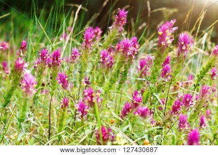 Nice view of alpine red flowers close up glowing by sunlight. Picturesque and gorgeous scene. Soft filter effect. Artistic picture. Beauty world.