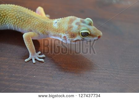 Species one of the most beautifully colored gekos