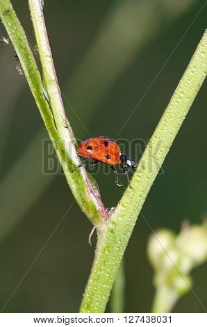 Macro of the dewy ladybug crawling on grass