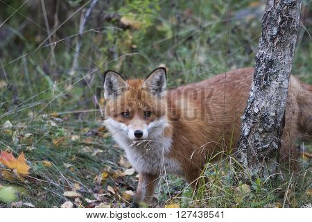a european red fox looking at the camera