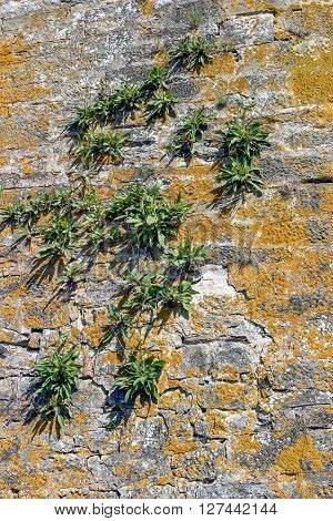 sunny illuminated old stone wall overgrown with plants and lichen