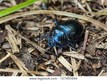 Anoplotrupes stercorosus is a species of earth-boring dung beetles Geotrupidae subfamily