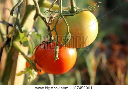 Red and yellow tomatoes hanging on the branch. Growing tomatoes in the garden. Organic home gardening. Tomatoes in the sunshine.