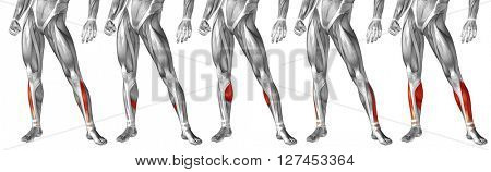 Concept 3D human upper leg anatomy or anatomical and muscle set or collection isolated on white background metaphor to body, tendon, fit, foot, strong, biological, gym, fitness skinless health medical