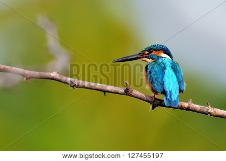The common kingfisher also known as the Eurasian kingfisher, and river kingfisher, is a small kingfisher with seven subspecies recognized within its wide distribution across Eurasia and North Africa