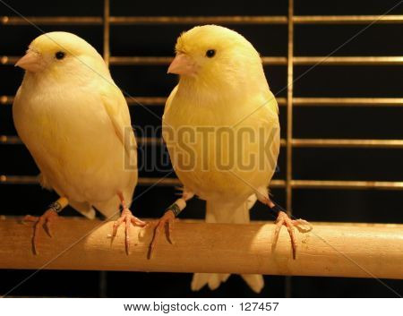 Pair Of Yellow Canaries In Cage