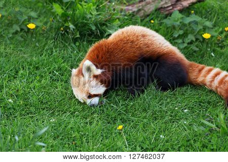 Lovely Red panda relax outdoors nature wild