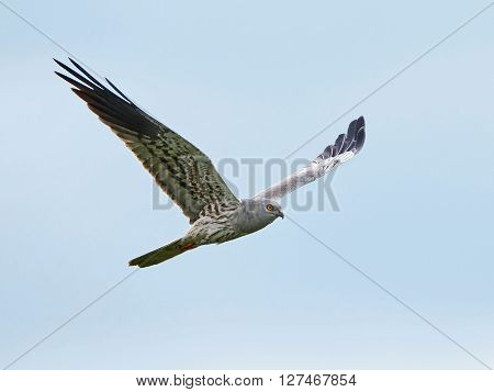Montagus harrier in flight with blue skies in the background ** Note: Visible grain at 100%, best at smaller sizes