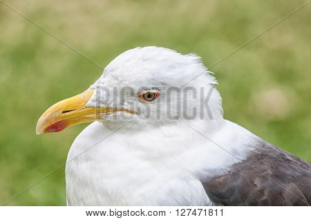 Close-up of a Kelp gull Larus dominicanus