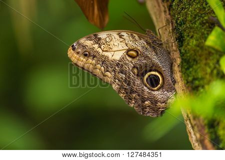 Magnificent owl (caligo eurilochus sulanus) butterfly on green nature background, close-up. poster