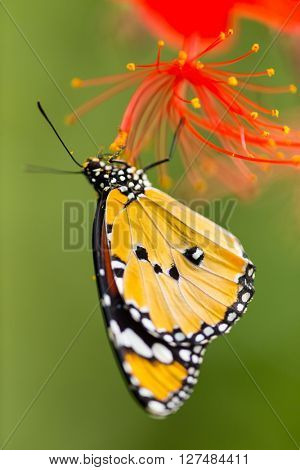 Beautiful Plain Tiger butterfly (Danaus chrysippus) perching on flower. Close-up.