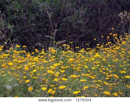 Wild Yellow Flowers Chamomille