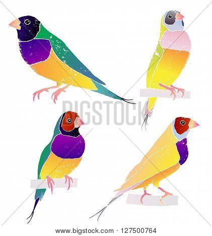 Gould finch.Australian birds. vector illustration isolated on white