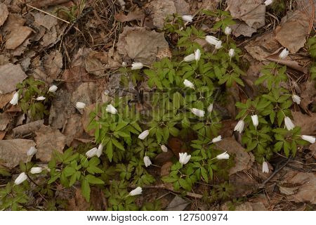 Anemone sylvestris flowers. Sibirian spring blooming snowdrops on last year foliage. Photo is made in April.