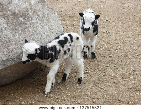 Two spotted Jacob Lambs walking around a rock.