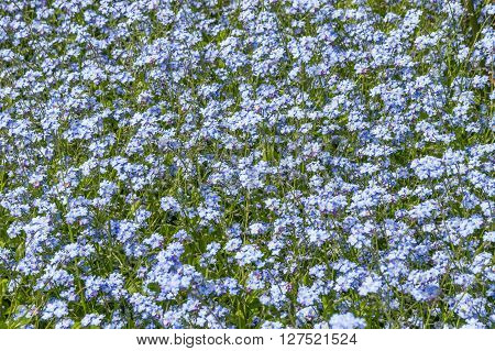 Forget-me-nots flowers field in the park in spring