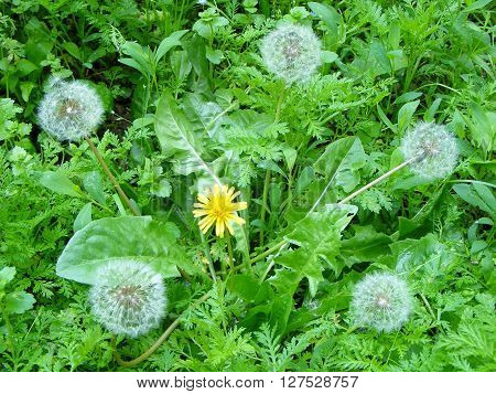 photography with scene of the spring dandelion