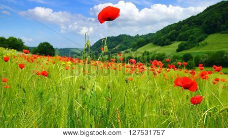 Picturesque nature rural landscape with poppies plantation.