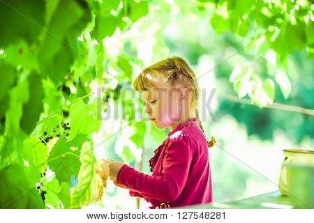 The girl in the purple dress at the garden gathers grapes