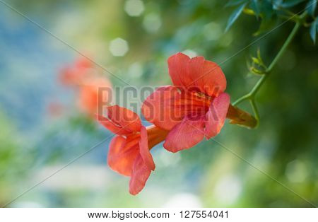 closeup of two beautiful red flowers (presumably campsis) photographed near lake Como in Italy