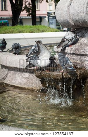pigeons enjoying fountain water in Bergamo North Italy