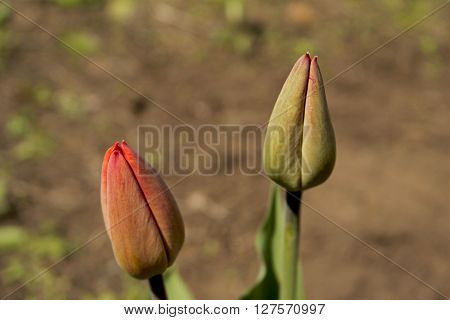 The buds of tulips. Beautiful spring flowers. Tulip. Tulips. Flowers. Spring flowers. Spring. Spring background. Tulips background. Floral background. Two Tulip. Two flowers. ** Note: Soft Focus at 100%, best at smaller sizes