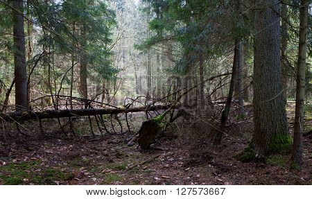 Shady coniferous stand of Bialowieza Forest in spring with broken spruce crossing narrow path,Bialowieza Forest,Poland,Europe