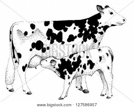 Cow and calf illustration old lithography style hand drawn