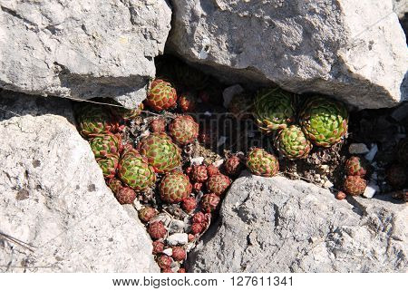several succulent red and green plants of rolling hen-and-chicks between the stones