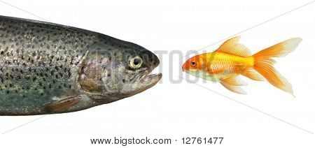 Trout and gold fish isolated over white background