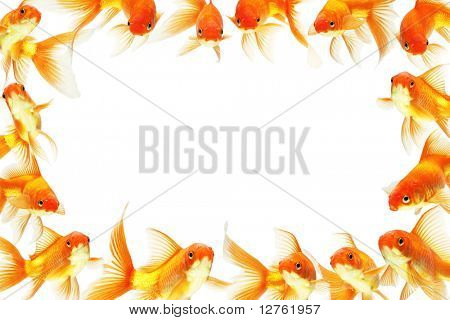 gold fish isolated on white